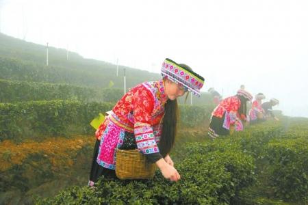 """国际茶业年会 本周宜宾举行 将成立""""世界茶业促进会"""""""