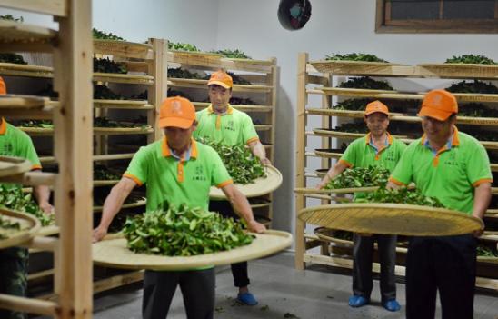 """走近""""肉桂王子""""----探访武夷山最大的手工制茶工坊"""