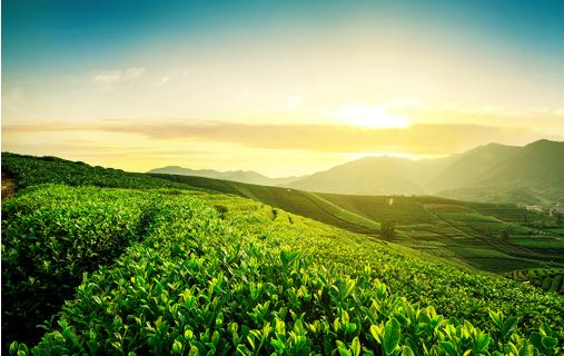 江北绿茶名优豌青绿茶  为山东茶业发展注入新活力