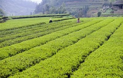 一条渠道助信阳茶产业转型