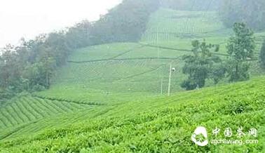 感受信阳茶文化的魅力