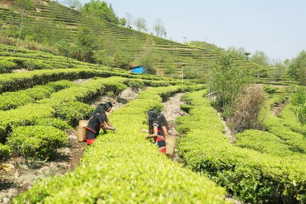以茶文化促茶产业