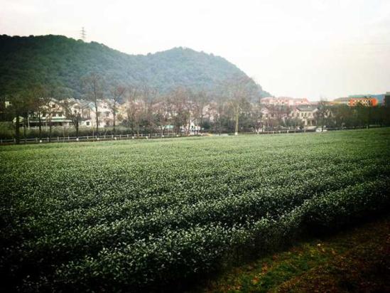 中国茶叶98%有农残?工程院院士权威辟谣