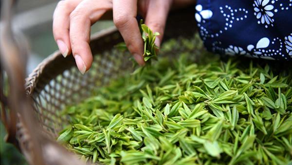 关于秋茶,你最关心的问题,答案都在这里!